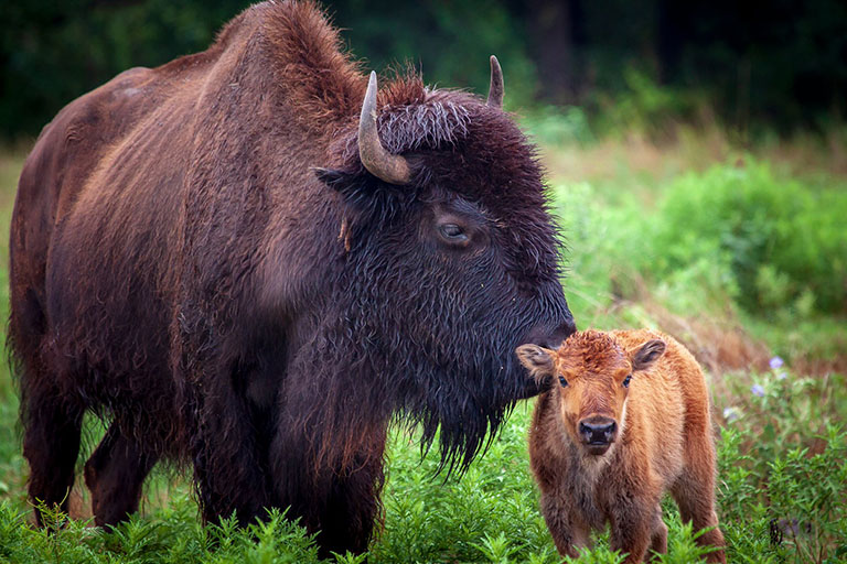 Bison nudging her calf while standing in a green field at the Fort Worth Nature Center