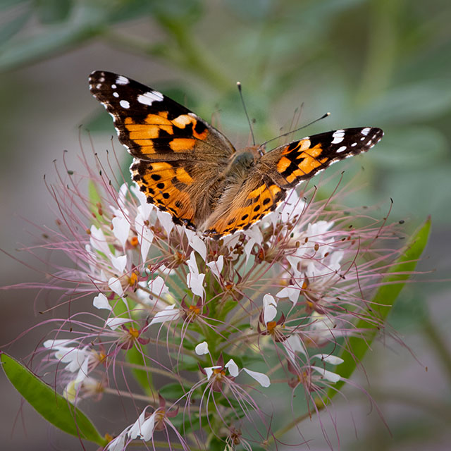 Orange and black American Lady butterfly on pink Redwhisker Clammyweed flowers at the Greer Island Causeway at the Fort Worth Nature Center