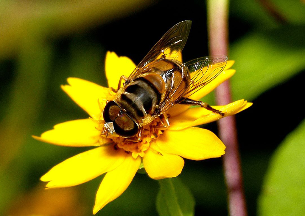 Closeup of honey bee on a yellow flower at the Fort Worth Nature Center