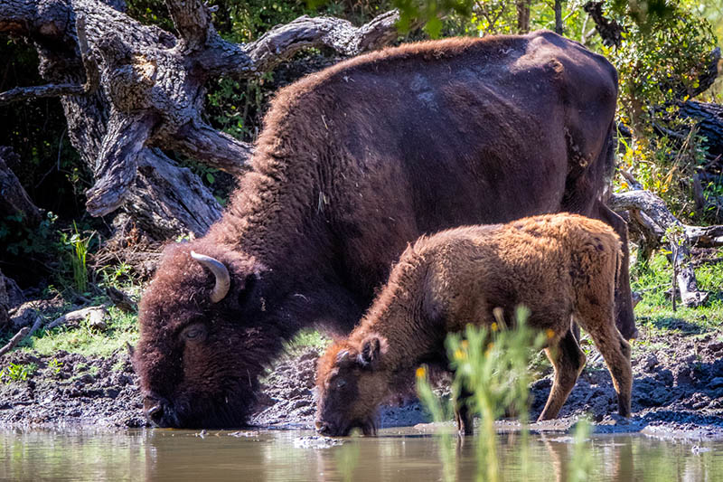 Bison and a calf drinking from the Trinity River at the Fort Worth Nature Center