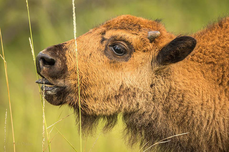 Bison calf eating a stalk of tall grass at the Fort Worth Nature Center