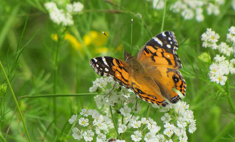 Orange and black American Lady butterfly on white Prairie Bishop's Weed at the Fort Worth Nature Center