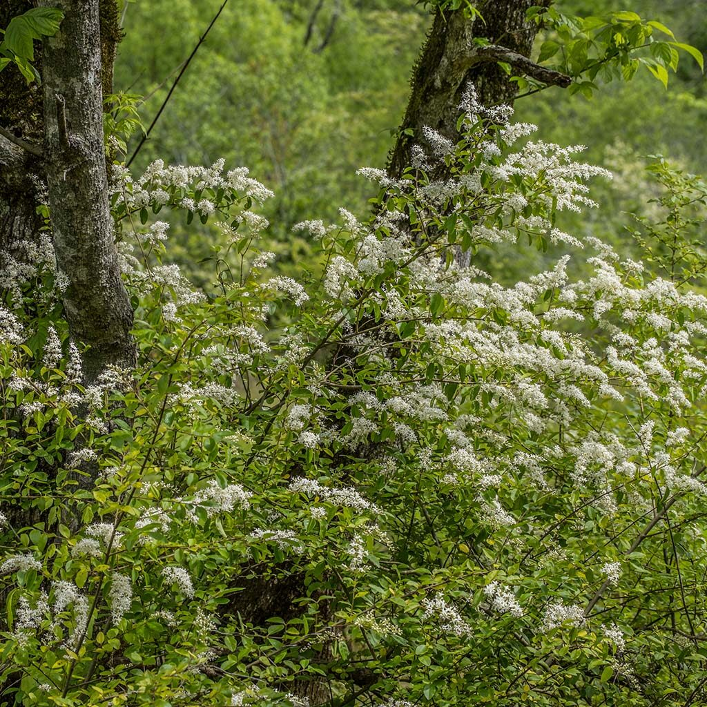 White blooming Chinese privet shrub growing in a forest area and covering a large tree