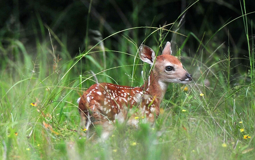 White-tailed deer fawn partially hidden in flowers and grass at the Fort Worth Nature Center