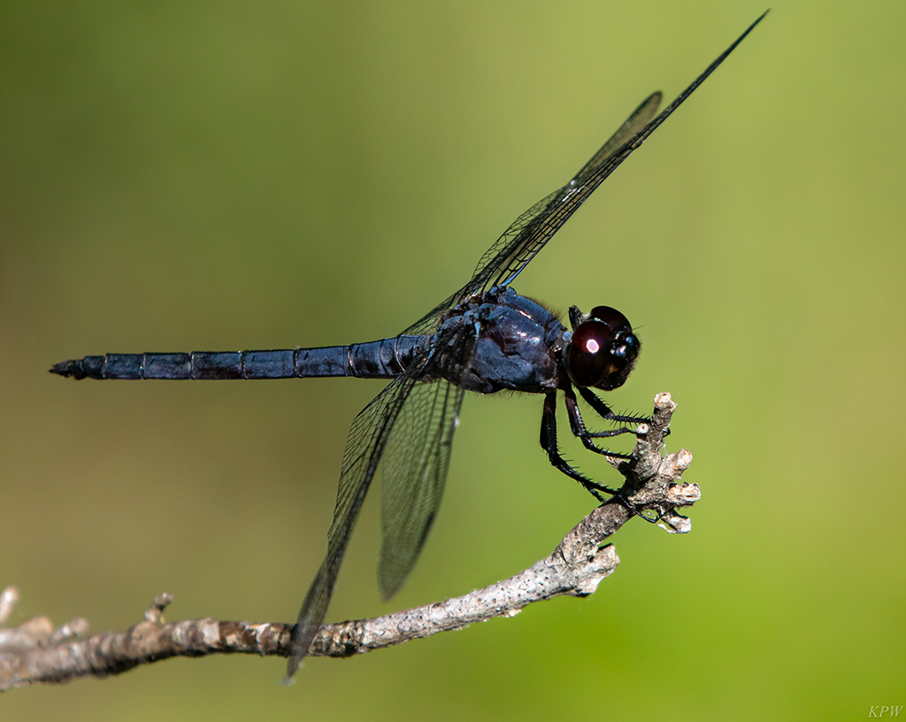 Dark blue king skimmer dragonfly on a branch at the Fort Worth Nature Center