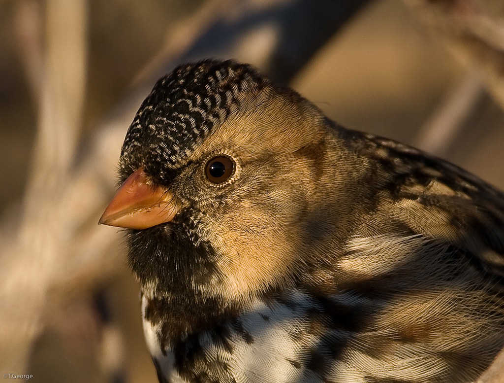 Closeup of mottled brown Harris' Sparrow at the Fort Worth Nature Center
