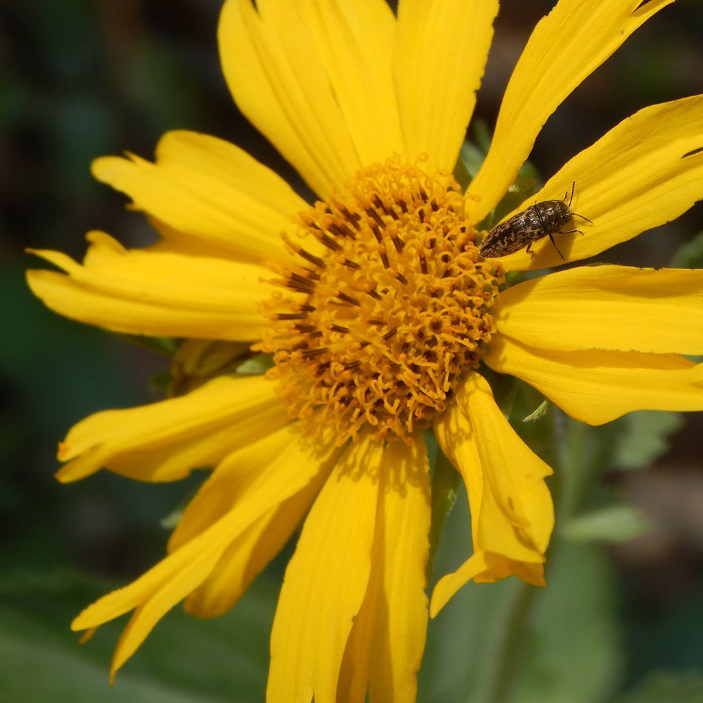 Closeup of an insect on a yellow Cowpen Daisy at the Fort Worth Nature Center