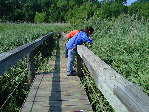 Volunteers cutting back phragmites along the Boardwalk at the Fort Worth Nature Center