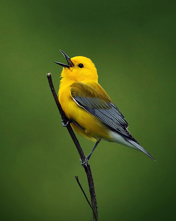 Yellow and gray prothonotary warbler at the Fort Worth Nature Center