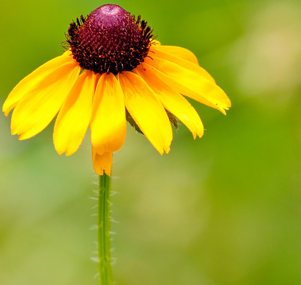 Closeup of a Yellow Coneflower at the Fort Worth Nature Center