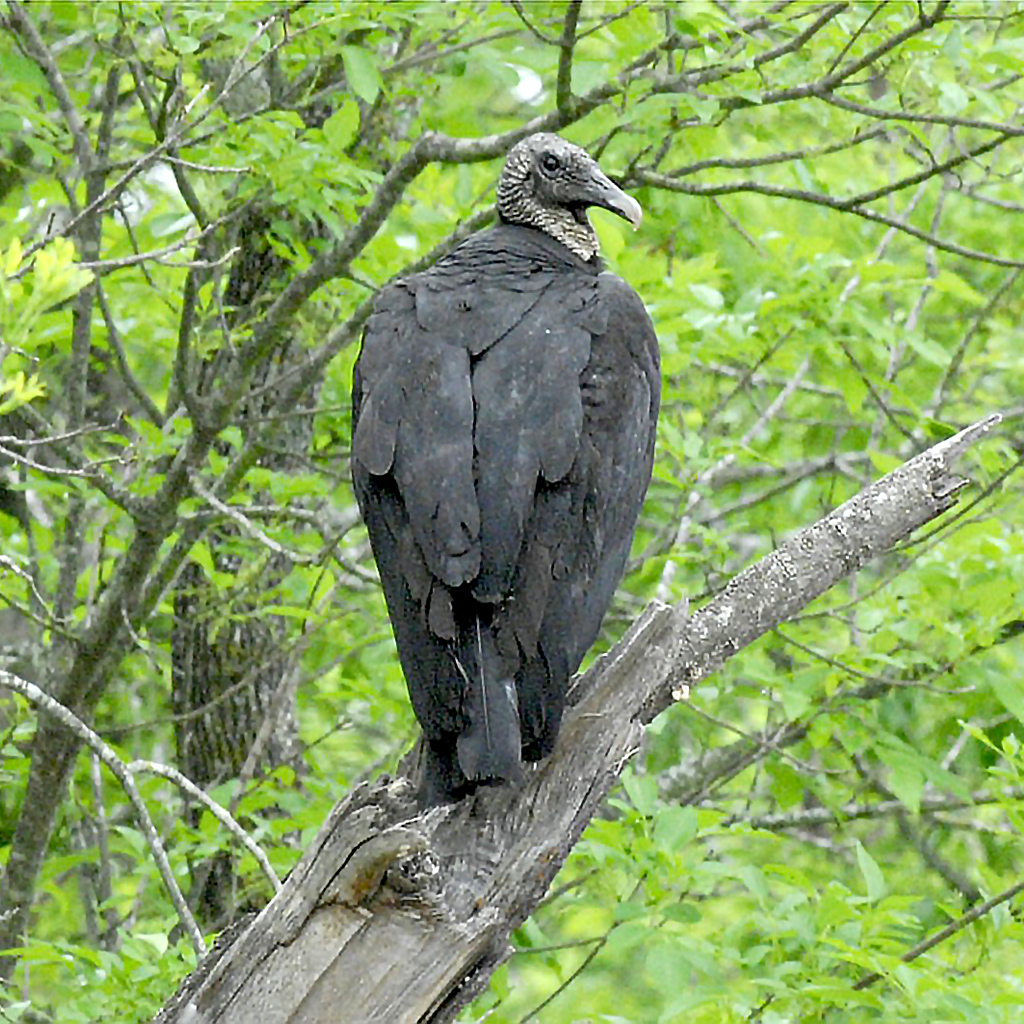 Black vulture sitting on a branch at the Fort Worth Nature Center