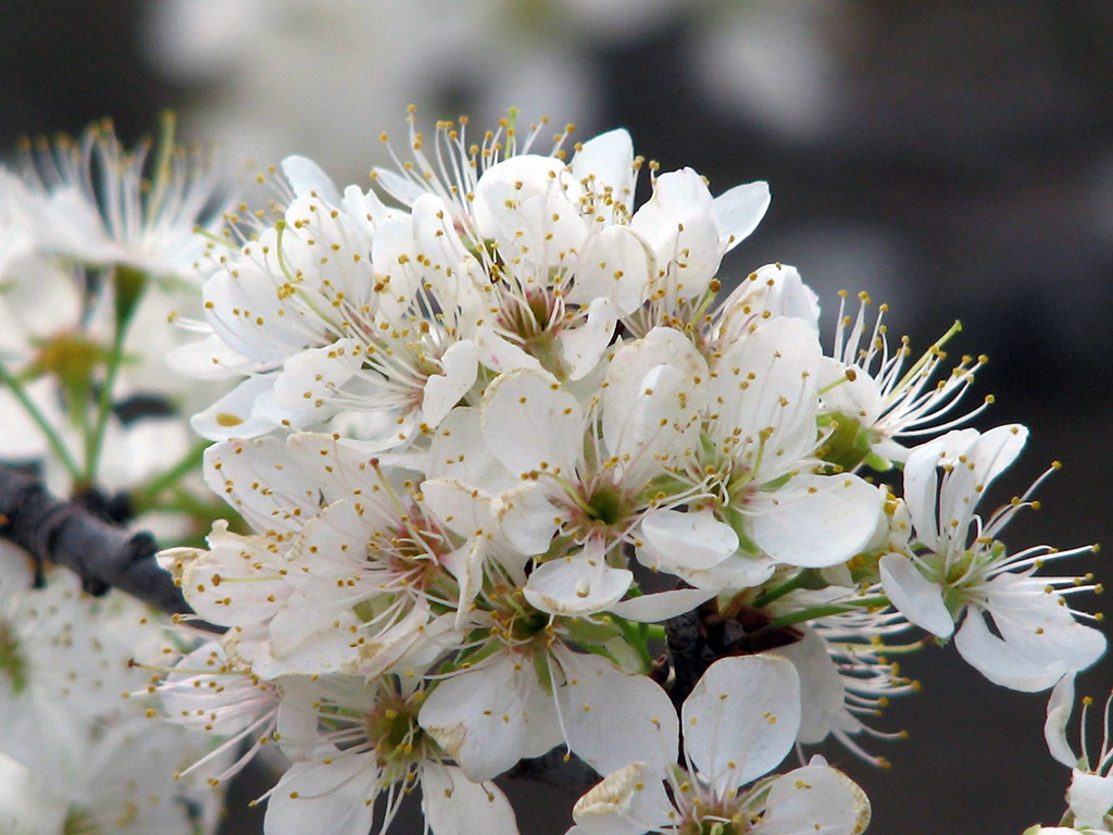 White Mexican Wild Plum flowers at the Fort Worth Nature Center