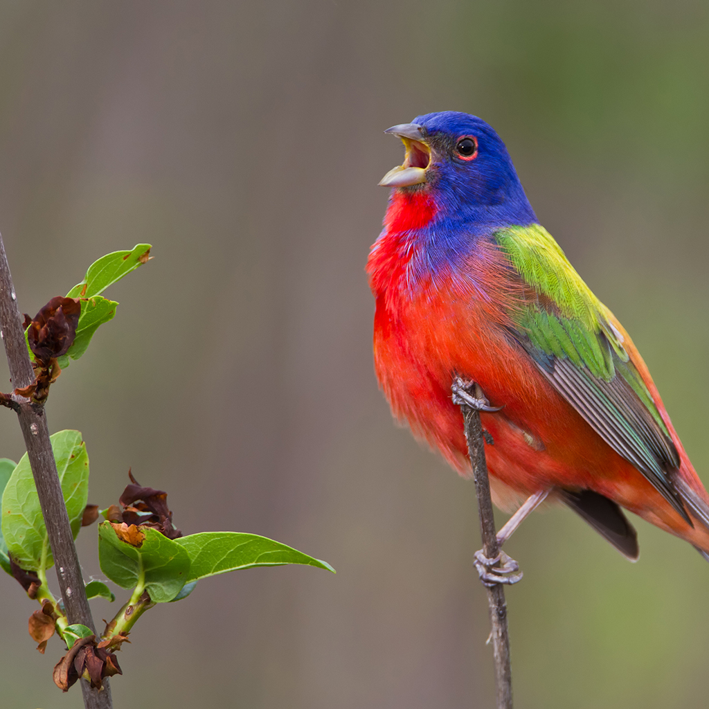 Colorful painted bunting sitting on a branch singing at the Fort Worth Nature Center
