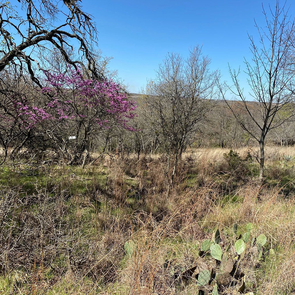 Blooming redbud tree with cactus in the foreground at the Fort Worth Nature Center
