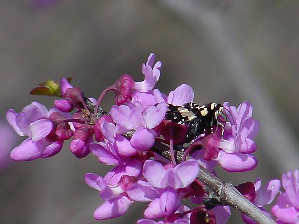 Closeup of purple redbud flowers at the Fort Worth Nature Center
